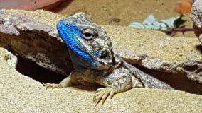 Reptiel, hagedis, dierentuindier, blauw dessert, stock foto