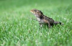 Reptiel jacht in het gras Stock Afbeelding