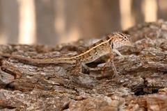 Reptielen in het Nationale Park van Yala in Sri Lanka Royalty-vrije Stock Afbeeldingen