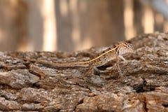 Reptielen in het Nationale Park van Yala in Sri Lanka Royalty-vrije Stock Foto's
