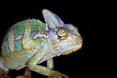Reptielen - kameleon Stock Afbeeldingen