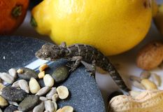 Reptielen op Voedsel - Teratolepis-fasciatagekko op een kom met fruit en diverse zaden Royalty-vrije Stock Foto