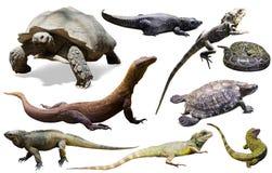 Reptielen op wit worden geïsoleerd dat Stock Foto's
