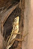 Reptielen van Sri Lanka stock foto's