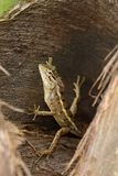 Reptielen van Sri Lanka stock afbeeldingen