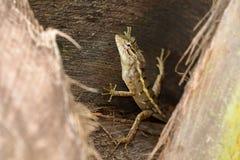 Reptielen van Sri Lanka stock fotografie