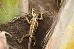 Reptielen van Sri Lanka royalty-vrije stock foto's
