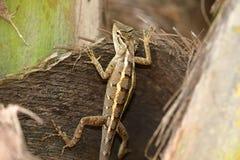 Reptielen van Sri Lanka royalty-vrije stock afbeeldingen