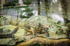 Reptielkrokodil en schildpadden achter glas in dierentuin stock afbeeldingen