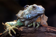 reptil Arkivbilder