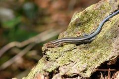 Reptil alineado cinco del lagarto de Skink Imagen de archivo libre de regalías