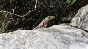 Reptil auf Felsen lizenzfreie stockfotografie