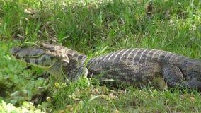 Reptil in Bolivia, south America. Reptil in Bolivia south America Stock Images