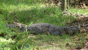 Reptil in Bolivia, south America. Reptil in Bolivia south America Royalty Free Stock Image