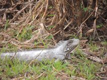 Reptil in Bolivia, south America. Reptil in Bolivia south America Stock Photo