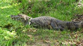 Reptil in Bolivia, south America. Reptil in Bolivia south America Stock Photos