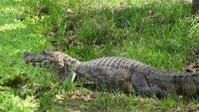 Reptil in Bolivia, south America. Reptil in Bolivia south America Stock Photography