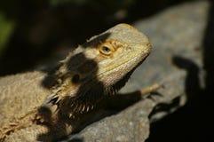 Reptil, das auf einem Felsen ein Sonnenbad nimmt stockbild