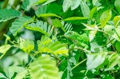 Reptil, das in den Blättern sich versteckt Stockbild