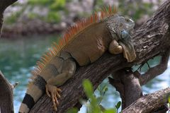 Reptil de la iguana fotos de archivo