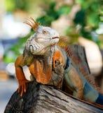 Reptil de la iguana imagen de archivo libre de regalías