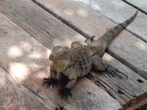 Reptil de la iguana tropical imágenes de archivo libres de regalías