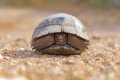 Reptil de Turtel de la tortuga Fotografía de archivo