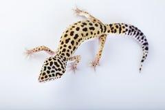 Reptil del Gecko Fotos de archivo libres de regalías