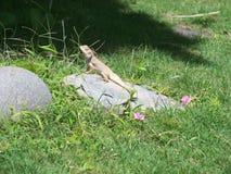 Reptil del lagarto Foto de archivo