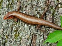 Reptil del lagarto del skink del carbón en corteza de árbol Foto de archivo libre de regalías