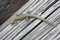 Reptil del lagarto en un tablero de madera Fotos de archivo