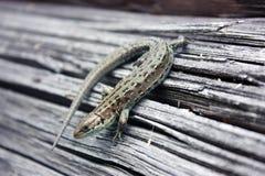 Reptil del lagarto en un tablero de madera Imágenes de archivo libres de regalías