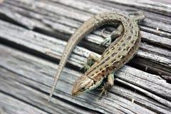 Reptil del lagarto en un tablero de madera Imagen de archivo libre de regalías