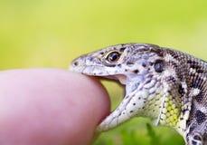 Reptil in der wilden Natur stockfoto