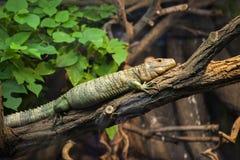 Reptil en árbol Fotos de archivo
