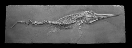 Reptil fósil marino Foto de archivo libre de regalías