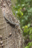 Reptil från den Fernando de Noronha ön, Brasilien som står på en t Arkivbild
