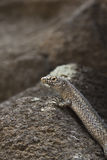 Reptil från den Fernando de Noronha ön, Brasilien som står på ett s Fotografering för Bildbyråer