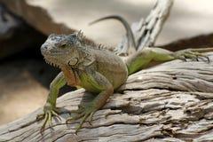 Reptil. Green Iguana analyzing their environment Stock Photos