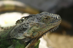Reptil. Green Iguana classic reptile in forest area Stock Images