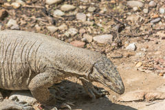 Reptil i löst Royaltyfria Bilder