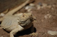 Reptil i solen royaltyfria foton