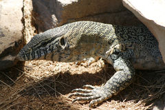 Reptil. Iguana characteristic in the deserts of mexico Stock Photography