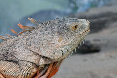 Reptil. Iguana in search of food Royalty Free Stock Photography