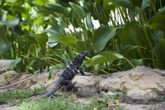 Reptil oscuro Fotografía de archivo