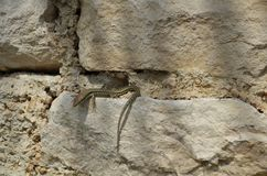 Reptil på en sten arkivbild