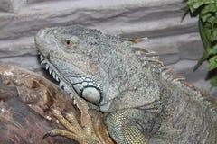 Reptil Terrarium-Monitoreidechsentier Lizenzfreie Stockfotografie