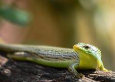 Reptildjur i natur Royaltyfria Bilder
