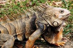 Reptile Royalty Free Stock Photos