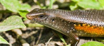 Reptile. Photo of a lizard in Bali Royalty Free Stock Photography